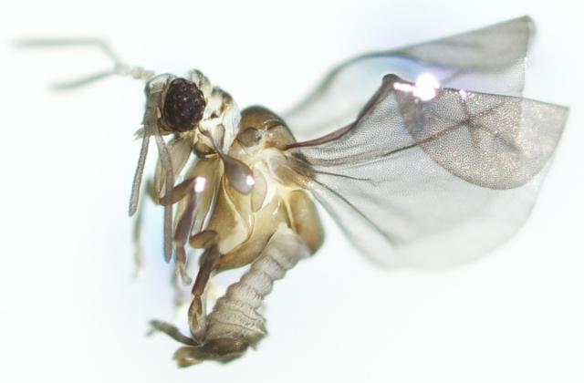 Large image of Elenchus koebeli Strepsiptera