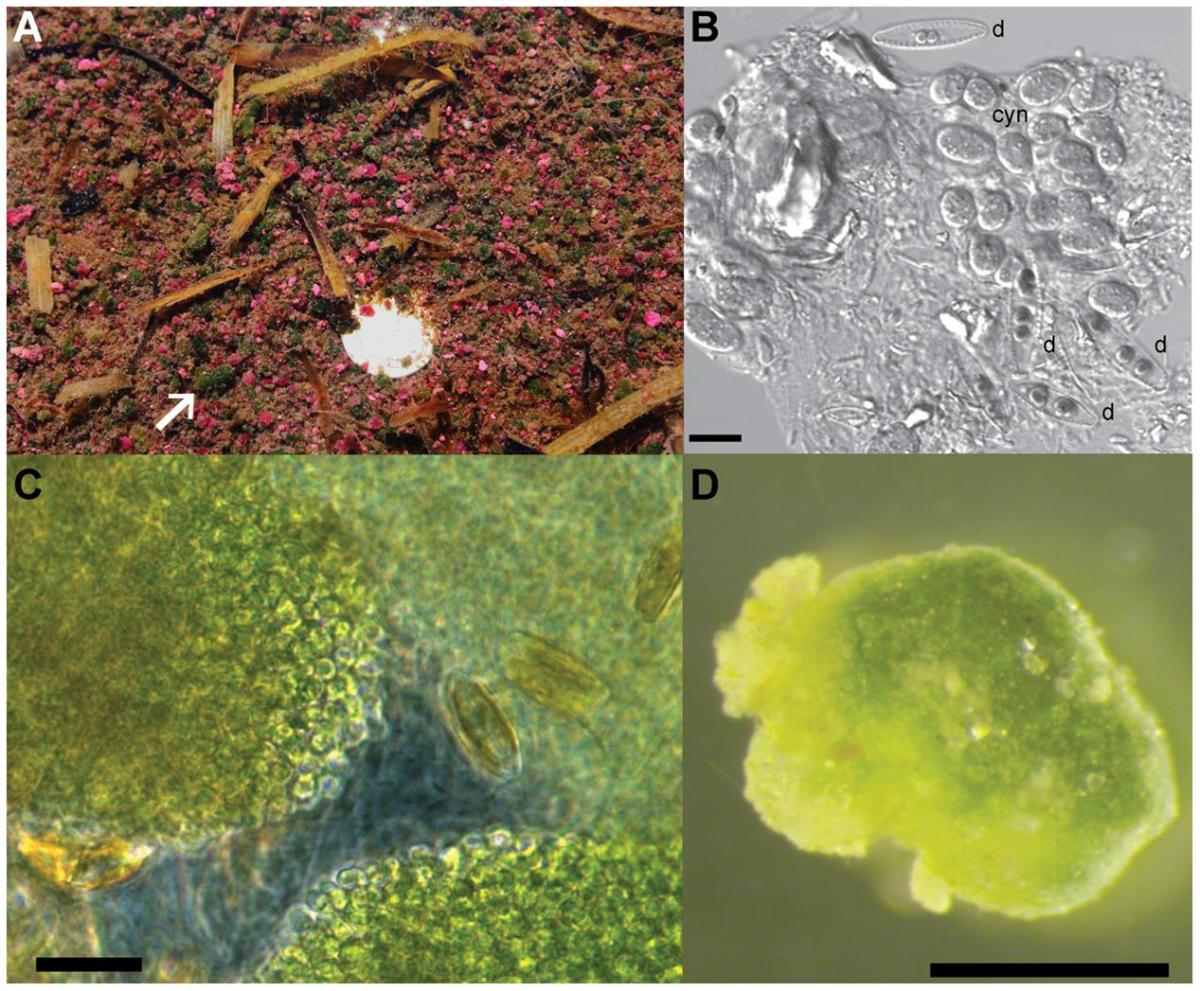 New paper out: The Green Berry Consortia of the Sippewissett Salt Marsh: Millimeter-Sized Aggregates of Diazotrophic Unicellular Cyanobacteria